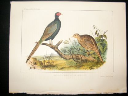 Japan Perry Expedition 1856 Antique Hand Col Bird Print. Green Pheasant 1 | Albion Prints